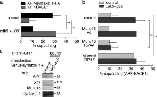 Association of APP with the syntaxin 1 microdomain through X11–Munc18 is controlled by cdk5 in N2a cells. (a) The effect of cdk5 on APP–syntaxin 1 and APP–BACE1 copatching. Cdk5/p35 expression caused switching of APP association in copatching. Results are means + SD of 20–31 measurements. (b) Effects of Munc18-1 mutants at the cdk5 phosphorylation site on APP–BACE1 copatching. Phosphorylation-resistant Munc18-1 T574A abolished the effect of cdk5, suggesting that the effect of cdk5 is mainly mediated by Munc18-1. A phosphorylation-mimetic mutant with reduced affinity to syntaxin 1, Munc18-1 T574E, had an effect similar to cdk5, indicating an involvement of syntaxin 1 and Munc18 in the regulation of the APP–BACE1 interaction. Data are means + SD based on three independent experiments (n = 32–44). (c) Effects of cdk5/p35 on interaction between syntaxin 1 and APP. N2a cells expressing Venus–syntaxin 1a with cdk5/p35 were used for IP with anti-GFP after cell lysis. Cdk5 reduced the association of Munc18, X11, and APP with syntaxin 1. **, P < 0.01.