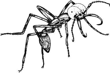 A Representative Individual from the Soldier Caste of the New World Army Ant Species Eciton burchelli with Characteristically Shaped MandiblesIllustration by Nathalie Escure.