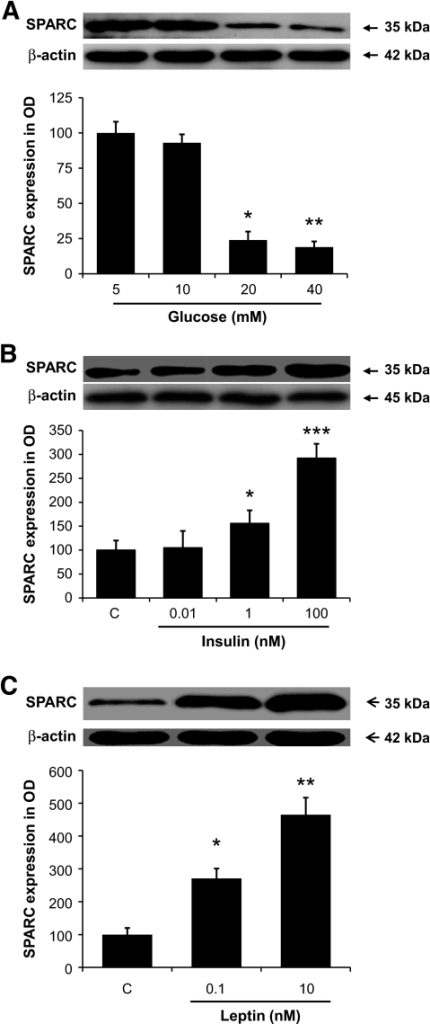 A: Dose-dependent effects of d-glucose on SPARC protein production in VAT explants assessed by Western blotting. Densitometric analysis of SPARC immune complexes (35 kDA) were normalized to β-actin (40 kDa). Data are expressed as percentage difference of median of basal. B: Dose-dependent effects of insulin on SPARC protein production. C: Dose-dependent effects of leptin on SPARC production. *P < 0.05, **P < 0.01, ***P < 0.001, n = 6.