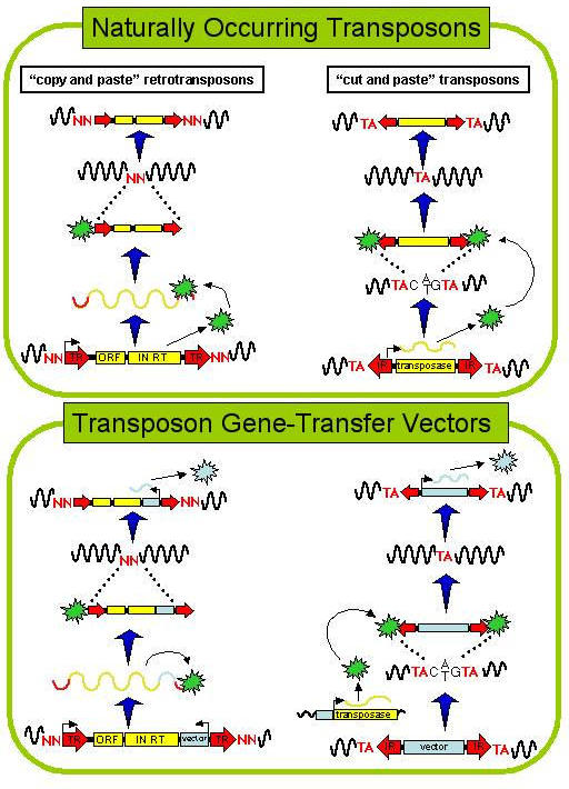 """Copy-and-paste"" and ""cut-and-paste"" transposons have been adapted for use as gene transfer vectors. In the top half of the figure, transposition of naturally occurring transposons is depicted. In the lower half of the figure, the general methods used to adapt these transposons for use as gene transfer agents is shown. Direct terminal repeats (TR) flank some retrotransposons. Inverted terminal repeats (IR) flank cut and paste transposons. Retrotransposons, such as the L1 element, encode open reading frames (ORF) of unknown function as well as integrases (IN) and reverse transcriptases (RT). Both kinds of elements can be manipulated so that special vector sequences are inserted. In the case of retrotransposons, the vector sequences are inserted into the 3' untranslated region. In the case of the ""cut and paste"", DNA transposons, the vector sequences replace the transposase gene, which is expressed from a heterologous promoter in trans."