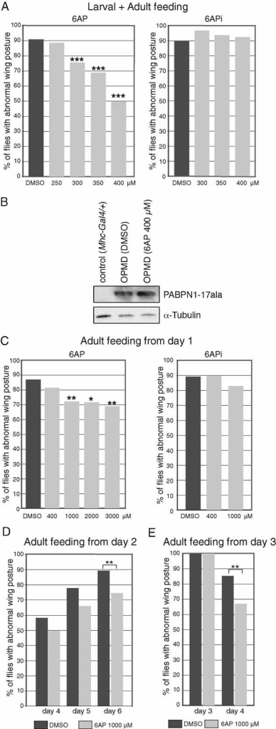 6AP reduces the wing position defects resulting from expression of alanine-expanded PABPN1 in musclesUAS-PABPN1-17ala/+; Mhc-Gal4/+ first instar larvae were raised at 18°C on instant Drosophila medium supplemented with increasing concentrations of 6AP, 6APi or DMSO alone. The day of birth (day 1), adult males were transferred onto fresh medium with the same concentration of drug and scored for wing position at day 6 (n = 120–320). Oral administration of 6AP reduces the percentage of wing position defects in a dose-dependent manner (left panel), whereas 6APi shows no effect (right panel).Western blot of thorax protein extracts from UAS-PABPN1-17ala/+; Mhc-Gal4/+ individuals at day 6, fed from larval stages with 400 µM of 6AP or DMSO alone. The blot was probed with anti-PABPN1, α-tubulin was used as a loading control.UAS-PABPN1-17ala/+; Mhc-Gal4/+ embryos were raised on regular Drosophila medium at 18°C. The day of birth (day 1), adult males were transferred onto fresh instant Drosophila medium supplemented with 6AP, 6APi or DMSO alone. Wing position defects were scored at day 6 (n = 40–120). Because of the shorter period of exposure to the drug and the reduced taking of food by adults compared to larvae, concentrations of 6AP higher than 400 µM were found to be non-toxic.UAS-PABPN1-17ala/+; Mhc-Gal4/+ adults were transferred to 6AP or DMSO alone-supplemented medium at day 2. Wing position defects were scored at days 4, 5 and 6 (n = 112–119).UAS-PABPN1-17ala/+; Mhc-Gal4/+ adults with wing position defects were selected at day 3 and transferred immediately to 6AP or DMSO alone-supplemented medium, wing position defects were scored at day 4 (n = 100). ***p-value <10−4, **p-value < 0.01 and *p-value < 0.05 using the χ2 test.