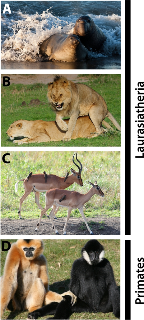 Sexual dimorphisms in Laurasiatheria and Primates.Males and females differ in body size and/or shape (A, elephant seal Mirounga leonina, Phocidae; B, lion Panthera leo, Felidae), presence of accessories such as horns or tusks (C, Impala Aepyceros melampus, Bovidae) and/or fur pattern/colouration (D, Gibbon Nomascus leucogenys, Hylobatidae). Pictures by Mike Baird (A), Vince Smith (B,C), and Linda Brosens (D) under a creative commons license.