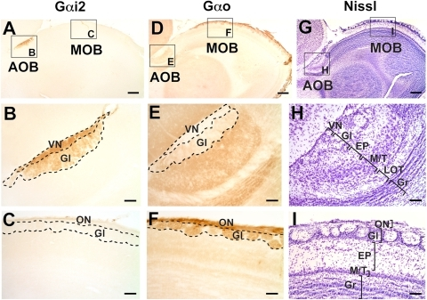 Patterns of Gαi2 and Gαo expression in the accessory olfactory bulb (AOB) of the ground squirrel Spermophilus beecheyi.Sagittal sections through the olfactory bulb reveal that the AOB is located dorsocaudal to the main olfactory bulb (MOB) and expresses Gαi2 throughout its rostrocaudal extent (A, B), at the vomeronasal nerve layer (VN) and glomerular layer (Gl) but not in glomeruli of the MOB (C). Gαo expression is restricted to MOB glomeruli (D, F) and deep layers of the AOB, including some expression at the Gl, but not at the VN, layers (E). Panels G, H, and I correspond to cresyl violet stained sections, where cell layering and relative sizes of AOB and MOB can be appreciated. EP, external plexiform layer; Gr, granule cell layer; LOT, lateral olfactory tract; M/T, mitral/tufted cell layer. Dorsal is to the top and anterior is to the right. Scale bar: 500 µm in A, D and G; 200 µm in B, C, E, F, H and I.