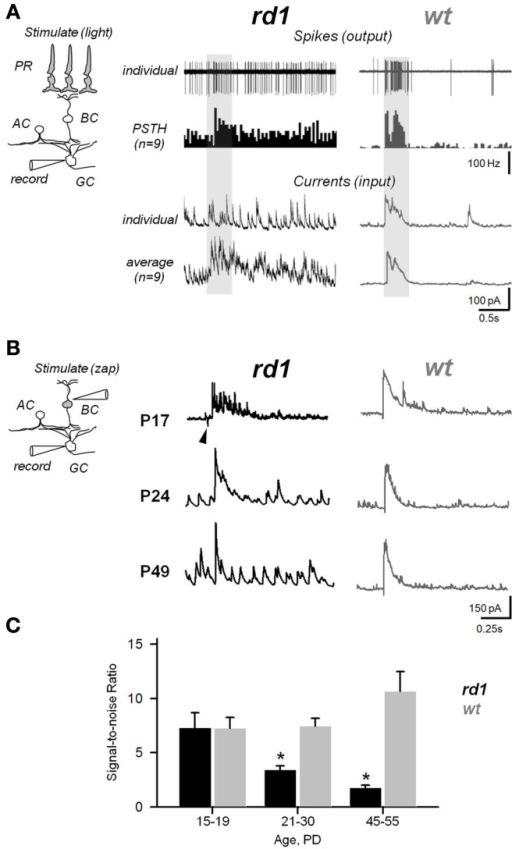 Aberrant activity compromises efficiency of synaptic transmission within the inner retina during RD. (A) Photoreceptor-dependent light-evoked spiking responses from GCs in rd1 and age-matched wt controls (P20–P26). Peristimulus time histograms (PSTHs) were generated with 0.1 ms bins. The recording paradigm is illustrated in the insert (PR, photoreceptor; BC, bipolar; AC, amacrine; GC, ganglion cells). Shaded area – timing of the light stimulus (∼300 μm light spot). (B) Photoreceptor-independent synaptically evoked activity from voltage-clamped GCs in rd1 mice at different phases of retinal remodeling and age-matched wildtype controls. A current pulse was delivered to the INL, bypassing photoreceptors. Arrowhead indicates stimulus artifact. (C) Signal-to-noise ratios at different ages in rd1 (black bars, n = 21) and wt (gray bars, n = 15). As RD progresses, increasing noise levels obscure the evoked response. All data are reported as means ± SEM; p < 0.001.