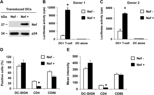 HIV-1 Nef enhances DC-mediated HIV-1 transmission to Hut/CCR5 T cells and modulates CD4 expression of DCs.Immature DCs were generated from purified monocytes by treatment with GM-CSF and IL-4 for 5 days. Immature DCs were transduced with a Nef-expressing lentiviral vector (Nef+) or a negative control vector (Nef−). (A) Nef expression in vector-transduced DCs was detected at five days post-transduction by immunoblotting. HIV-1 p24 was used a positive control. (B and C) Nef expression in DCs promotes HIV-1 transmission. DC-mediated transfer of single-cycle, Nef-defective, R5-tropic luciferase HIV-1 to CD4+ Hut/CCR5 cells was measured at 2 days post-infection (dpi). The data show the mean ± SD of triplicate samples of cells from two different donors. (A–C) One representative experiment out of four is shown. cps, counts per second. (D and E) Transduced DCs were analyzed by flow cytometry for the positive percentage (D) and the mean intensity (E) of DC-SIGN, CD4 and CD86 expression at 5 days post-transduction. The data show the mean ± SD of three independent experiments. (B–E) *, Significant differences compared with the Nef-negative controls (P<0.05).