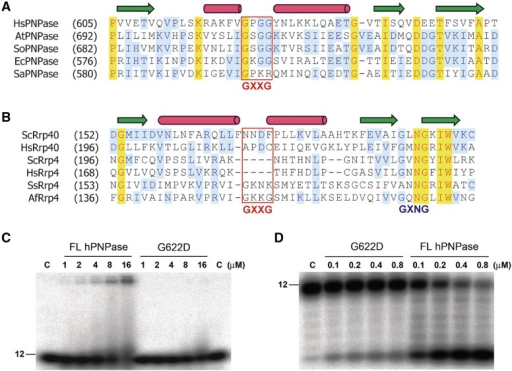 The GXXG motif in the KH domain of PNPase participates in RNA binding. (A) Sequence alignment of the KH domain of PNPase from different species shows that the GXXG motif is highly conserved. Secondary structure elements are shown on the top, with arrows indicating β-sheets and cylinders indicating α-helices. The PNPase-specific GXXG sequences are marked with a box. Sequences listed here include PNPase from Homo sapiens (Hs), Arabidopsis thaliana (At), Spinacia oleracea (So), E. coli (Ec) and S. antibioticus (Sa). (B) Sequence alignment of the KH domain in Rrp40 and Rrp4 exosome components shows that the GXXG motif was not conserved. Sequences listed here include components from the following species: Saccharomyces cerevisiae (Sc), H. sapiens (Hs), S. solfataricus (Ss) and Archaeoglobus fulgidus (Af). (C) EMSA assay showing that the hPNPase mutant G622D lost its RNA-binding activity in binding a 12-mer poly(A) ssRNA. (D) RNase activity assay showing that the hPNPase mutant G622D digested the 12-mer poly(A) RNA poorly as compared to wild-type PNPase.