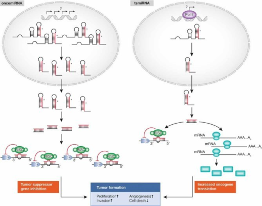 MicroRNAs as oncogenes or tumour suppressor genes.