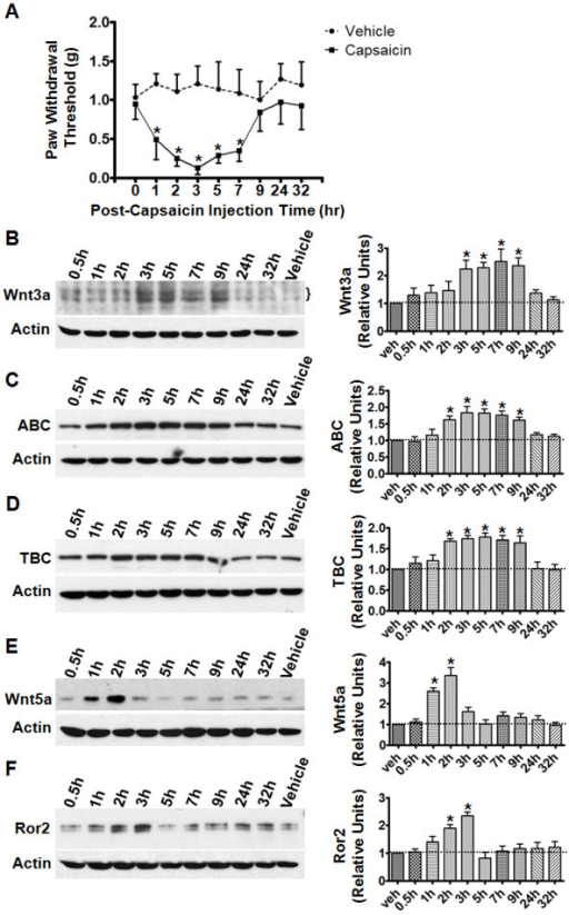 Up-regulation of Wnt signaling proteins in the capsaicin pain model.A. Time course of mechanical allodynia induced by intradermal (i.d.) capsaicin injection in mouse hind paws. Mice with saline injection were used as controls (vehicle). Following capsaicin administration, mechanical hypersensitivity peaked at 3 h post-injection and gradually returned to baseline (*, p < 0.05; n = 6). B-D. Protein levels of Wnt3a (B), active β-catenin (ABC, C), and total β-catenin (TBC, D) at different time points after capsaicin injection. Proteins levels gradually increased and peaked around 3 h after injection. E-F. Temporal expression profiles of Wnt5a (E) and Ror2 C (F) following capsaicin injection. The levels of both proteins transiently increased after the injection. β-actin was included as a loading control. In the summary graphs (right panels), protein levels from at least three independent experiments are presented as relative units to the vehicle controls (mean ± SEM; *, p < 0.05; one-way ANOVA).
