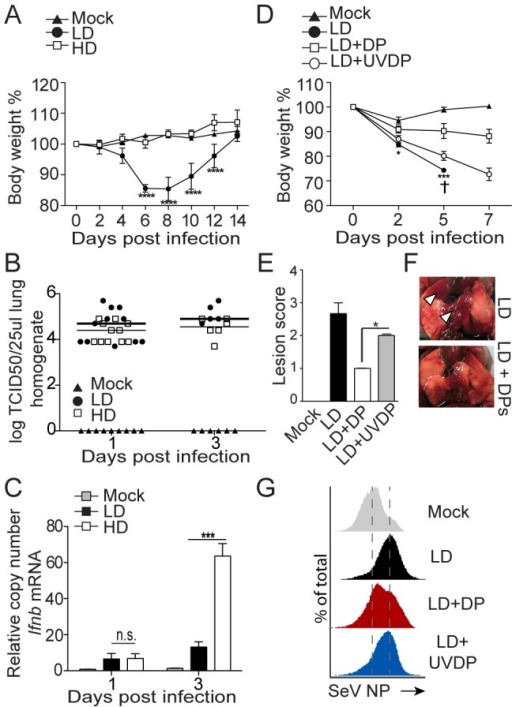 SeV DVGs reduce virulence in vivo.(A–C) Mice were infected with 105 TCID50/mouse of SeV Cantell HD (HD) or SeV Cantell LD (LD). (A) Weight loss (***p<0.001, ****p<0.0001; Two-way ANOVA with Bonferroni's post hoc test), (B) Virus titers in the lung, (n = 11 for day 1, n = 6 for day 3), and (C) expression of Ifnb mRNA by RT-qPCR. Gene expression is shown as copy number relative to the housekeeping genes Tuba1b and Rps11 (***p<0.001, Unpaired, two tailed, t student test). (D–F) Mice were infected with 104 TCID50/mouse SeV Cantell LD alone, in the presence of 5,000 HA Units/mouse purified defective particles (DPs) or in the presence of UV-inactivated DPs (UVDP). Mice received DPs or UVDPs immediately following virus inoculation. (D) Weight loss, (†, mice sacrificed due to severe weight loss; ***p<0.001, ****p<0.0001; Two-way ANOVA with Bonferroni's post hoc test), (E) lung lesion score at day 7 post-infection (n = 3)(*p<0.05, Mann-Whitney test). (F) Photos of the lung of a representative mouse at day 7 post-infection. Arrowhead indicates areas of lesions. (G) Lungs from mice infected with SeV Cantell LD alone, or in the presence of DPs or UVDPs were analyzed by flow cytometry for the expression of the SeV NP protein.