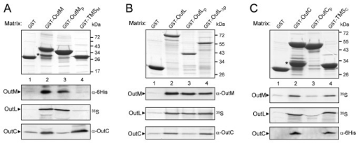 Dissection of the interacting regions of OutC, OutL and OutM in pull-down assays.The GST-fused derivatives of OutM (A), OutL (B) or OutC (C) (indicated at the top) were immobilized on Glutathione Sepharose beads, to constitute the affinity matrices (upper panels). Next, the indicated proteins of interest were incubated with these matrices for 1 h and unbound proteins were washed away. Bound proteins were eluted with Laemmli sample buffer, separated by SDS-PAGE and either stained (upper panels), or (lower panels) probed with the indicated antibodies, or revealed by autoradiography (35S). GST-fused degradation products are indicated by asterisks. Schematic representation of the used derivatives is shown in Figure S1.