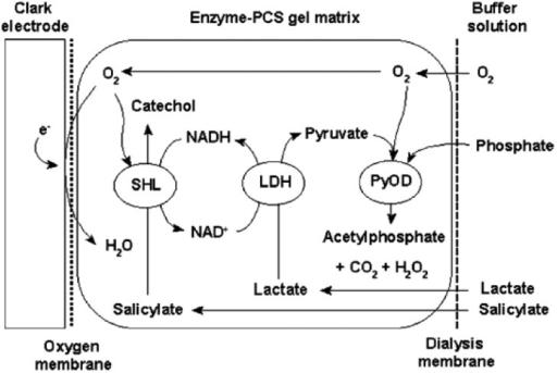 Schematic Diagram Of A Shl  Ldh  Pyod Trienzyme Lactate B
