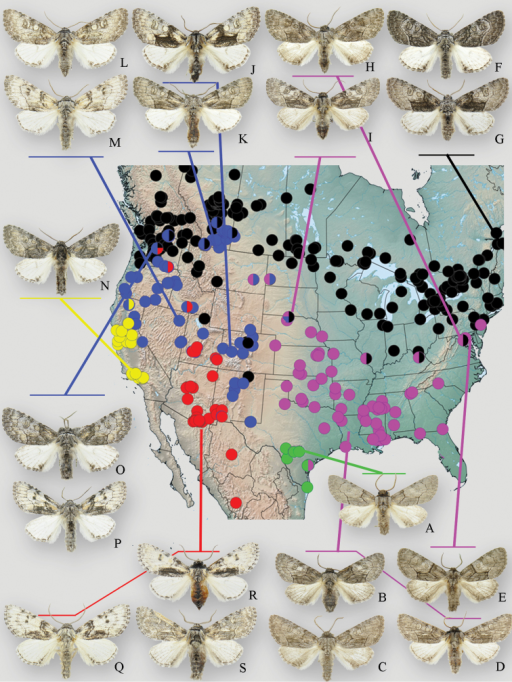 Geographic distribution and phenotypic variation of Raphia frater subspecies. Circles indicate specimens examined during this study: green – subsp. piazzi; pink – subsp. abrupta; black – subsp. frater; blue – subsp. coloradensis; yellow – subsp. cinderella. Multi-coloured circles indicate transitional populations and/or phenotypically intermediate specimens between respective subspecies. aRaphia frater piazzi (Zavallo Co., TX) bRaphia frater abrupta (Oktibeha Co., MS) cRaphia frater abrupta (Cottle Co., TX) dRaphia frater abrupta (Cottle Co., TX) eRaphia frater abrupta (Montgomery Co., MD) f, gRaphia frater frater (Edmunston, NB) hRaphia frater abrupta – frater intermediate (Anne Arundel Co., MD) iRaphia frater abrupta – frater – coloradensis intermediate from highly variable population in Cherry Co., NE jRaphia frater coloradensis (Alamosa Co., CO) kRaphia frater coloradensis (Milk River valley, AB) lRaphia frater coloradensis (Sanpete Co., UT) mRaphia frater coloradensis (Elko Co., NV) nRaphia frater cinderella (Ventura Co., CA) o, pRaphia frater coloradensis – frater intermediates (Chelan Co., WA) qRaphia frater elbea (Cochise Co., AZ) rRaphia frater elbea (San Juan Co., UT) sRaphia frater elbea (Santa Cruz Co., AZ). All specimens are males.