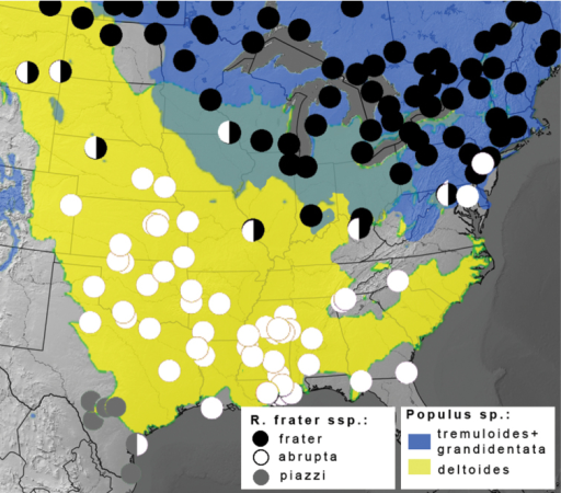 Distribution of Raphia frater subspecies (circles) relative to range of Populus larval host plants (coloured shading) in eastern North America. Black circles - subsp. frater; white circles – subsp. abrupta; grey circles – subsp. piazzi; half-circles represent transitional populations and/or phenotypically intermediate specimens. Blue shading – combined ranges of Populus tremuloides and Populus grandidentata; yellow shading – Populus deltoides; range overlap depicted in green. Populus ranges adapted from USGS (2013).