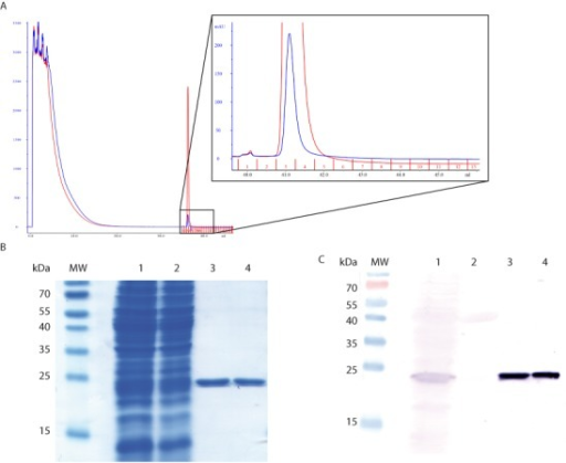 Purification and verification of readthrough GST proteins. (A) The chromatograms show absorbance at 280 nm. The red curve corresponds to in-frame GST purification; the blue curve corresponds to GST-IXRI-TAG purification. The elution peaks appears in fraction 3. (B) SDS-PAGE gel stained by Coomassie Blue. Lane 1: whole-cell extract; lane 2: flowthrough after binding of the extract; lane 3: in-frame GST, and lane 4: purified readthrough protein, GST-IXRI-TAG. For lanes 3 and 4, 1.8 μg of protein was loaded on the gel. (C) The presence of the GST protein was checked by western blotting with an antibody against GST. Lane 1 corresponds to the whole-cell extract, lane 2 corresponds to the flowthrough after binding of the extract, lane 3 to in-frame GST, and lane 4 to purified readthrough protein, GST-IXRI-TAA. For lanes 3 and 4, 0.5 μg of protein was loaded on the gel.