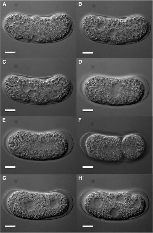 Early embryogenesis of Bursaphelenchus okinawaensis through four-cell stage. (A–E) Pronuclear migration and fusion. (F) Asymmetric first cleavage. (G) Two-cell stage. (H) Four-cell stage. Scale bar represents 10 μm.