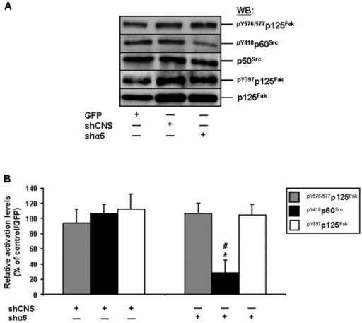 Impact of the knockdown of the α6 integrin subunit on Fak and Src activation, in human IECs. A. Representative (n ≥ 3) WB analyses of Src and Fak, and verifications of Fak-Src interactions, from adhering HIEC cell cultures following their infection by a lentivirus carrying GFP (control), shCNS or shα6. Specific antibodies for pY576/577p125Fak, pY418p60Src and pY397p125Fak, as well as for respective total protein forms, were used. B. Adhering HIEC cell cultures were infected and processed as in (A), except that the relative pY576/577 levels of Fak (grey columns), as well as the relative activation levels of Src (filled columns) and Fak (open columns), were established in comparison to controls. Statistically significant (0.0001 ≤ P ≤ 0.001; n ≥ 3) differences between treated and control cultures are indicated by (*). Statistically significant (0.0005 ≤ P ≤ 0.005; n ≥ 3) differences between shα6 and shCNS are indicated by (#). A-B. Results obtained with -2PC Caco-2/15 cells were highly similar to those shown here for HIEC cells.