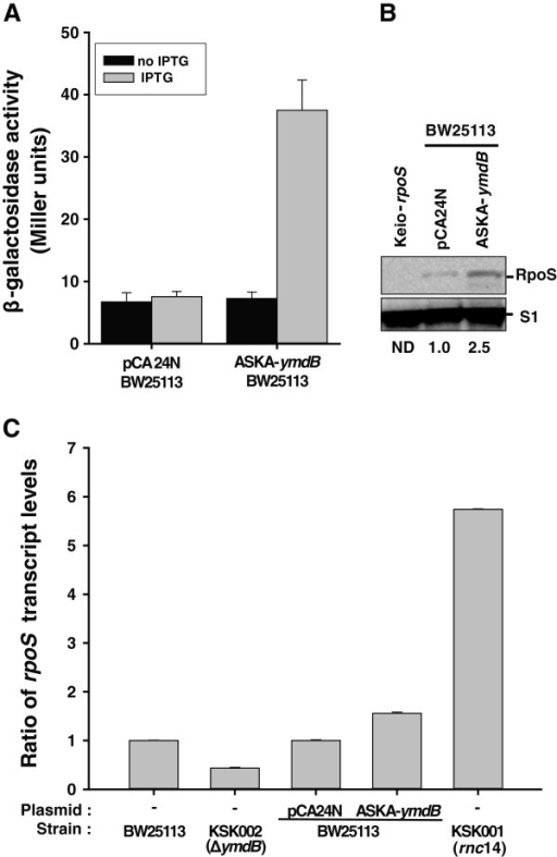 Regulation of RpoS levels and activity by YmdB. (A) Effect of YmdB on in vivo expression levels of RpoS. KS004 [SG30013 (λRpoS750::LacZ] [31] strains containing either pCA24N (−gfp) or ASKA-ymdB (−) were grown to OD600 = 0.2, induced by IPTG (0.1 mM final), and further grown to OD600 = 1.0. Aliquots were then assayed for β-galactosidase activity. Data represent the mean values from n = 3 experiments (p = 0.05). (B) Expression level of RpoS. Total lysates prepared from the cell described in (A) and from Keio-∆rpoS cells were immunoblotted antibodies against RpoS and S1. The Keio-∆rpoS strain is included to show the specificity of the antibody. The relative levels of RpoS normalized against S1 protein are shown. ND, not determined. (C) Determination of steady-state levels of rpoS transcript induced by YmdB. cDNA synthesized from total RNA obtained from BW25113, KSK002 (∆ymdB), KSK001 (rnc14) or BW25113 cells containing either pCA24N (−gfp) or ASKA-ymdB (−) were qPCR amplified using the rpoS- or 16S RNA-specific primer sets listed in Additional file 1: Table S2 and then compared. Data represent the mean values from triplicate experiments.
