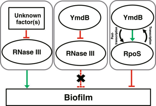 A schematic model of biofilm formation and gene expression involving YmdB, RpoS, and RNase III. Two different pathways for biofilm formation are proposed: an RNase III-dependent pathway in which other uncharacterized factor(s) inhibit RNase III activity, thereby upregulating biofilm formation, and an RNase III-independent pathway in which both YmdB and RpoS interdependently regulate the inhibition of biofilm formation. In terms of gene expression, the level of RpoS is post-transcriptionally regulated by YmdB either directly or indirectly via the inhibition of RNase III activity [18,20], while the level of YmdB is regulated transcriptionally by the RpoS protein [18].
