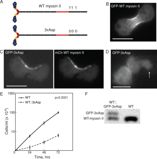 Overexpression of 3xAsp in WT cells reduced growth rate. (A) Diagram of WT myosin II and 3xAsp myosin II. (B) GFP-WT myosin II accumulates at the furrow. Scale bar, 10 μm. (C) Myosin II distribution in myoII::GFP-3xAsp;mCh-WT myosin II was altered by expression of 3xAsp myosin II. GFP-3xAsp and mCherry-WT myosin II colocalized at the cleavage furrow in dividing cells but with an aberrant distribution. Scale bar, 10 μm. (D) WT cells expressing GFP-3xAsp (WT::3xAsp) did not show mechanosensitive myosin II accumulation in response to micropipette aspiration (white arrow). The background-corrected fluorescence intensity ratio of the cortex inside the micropipette (Ip) and the opposite cortex (Io) was measured and used to determine whether the myosin II undergoes mechanosensitive accumulation (Effler et al., 2006). Scale bar, 10 μm. (E) Suspension culture growth for WT control and WT::3xAsp cells. Average growth rate is 0.067 ± 0.008 h−1 for WT cells (n = 11) and 0.032 ± 0.009 h−1 for WT::3xAsp cells (n = 11; p value is on the graph). (F) Western analysis of WT and WT::GFP-3xAsp (where 3xAsp is integrated randomly in the genome) showed that 3xAsp is 40% and WT endogenous myosin II is 60% of the total myosin II in these cells.