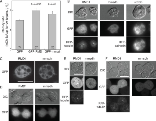 Localization of RMD1, mmsdh, and rcdBB proteins in cells. (A) Bar graph shows the cleavage furrow intensity ratio of mCherry-3xAsp myosin II in myoII::mCh-3xAsp cells when GFP-RMD1 and GFP-mmsdh were expressed. These data confirm that GFP-RMD1 and GFP-mmsdh are functional GFP-fusion proteins. Sample sizes and p values are displayed on the graph. (B) Epifluorescence images demonstrate subcellular localization of RMD1, mmsdh, and rcdBB. RMD1 is largely cytoplasmic, with some enrichment around the centrosome (RFP-tubulin is shown for comparison). mmsdh is only cytosolic, and rcdBB was found enriched in the endoplasmic reticulum (RFP-calnexin is shown for comparison). (C) Confocal imaging confirms the largely cytosolic distribution of RMD1, with weak enrichment around the centrosome and the cytosolic distribution of mmsdh. (D) During cytokinesis, RMD1 and mmsdh remain cytosolic, with RMD1 showing weak enrichment around the centrosome. (E) In interphase cells compressed by agarose overlay, which introduces mechanical stress to the cortex, RMD1 remains largely cytosolic, with weak enrichment around the centrosome (RFP-tubulin is shown for comparison). mmsdh also remains cytosolic. (F) In dividing cells compressed by agar overlay, RMD1 and mmsdh remain cytosolic, with RMD1 showing weak enrichment around the centrosome (RFP-tubulin is shown for comparison).