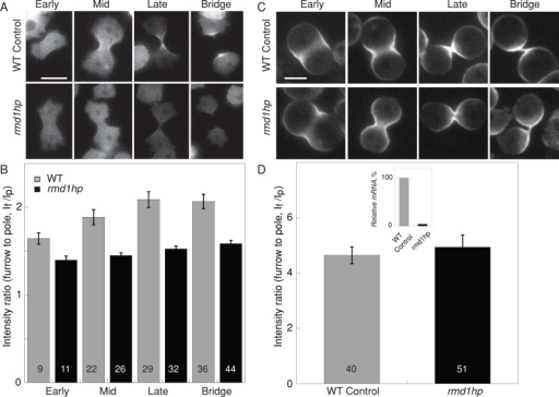 Depletion of rmd1 mRNA reduced GFP-myosin II cleavage furrow accumulation. (A) Micrographs show GFP-myosin II localization at the cleavage furrow cortex of WT control (myoII::GFP-myosin II; pLD1) and rmd1hp (myoII::GFP-myosin II; rmd1hp) cells. Scale bar, 10 μm. (B) Bar graph shows that the GFP-myosin II intensity at the cleavage furrow cortex is reduced in the rmd1hp cells compared with control (cell lines are the same as in A). Sample sizes are displayed in the bar graphs. Measurements are derived from 36 total control cells and 47 total rmd1hp cells. The differences between control and rmd1hp are significant (ANOVA, p < 0.0001). (C) Micrographs show myosin II accumulation at the cleavage furrow of cells compressed by agarose overlay. Scale bar, 10 μm. (D) WT control and rmd1hp cells showed comparable cleavage furrow accumulation when mechanical stress was applied. Because the data were similar across all stages of cytokinesis, the data were combined into a single group for each genotype. The inset shows the relative rmd1 mRNA levels in WT control and rmd1hp cells, which were used for the analyses in A–D.