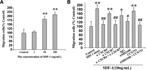 Requirement of CXCR4 but not CXCR7 for SDF-1-induced migration of EPCs. EPC migration was assayed in 24-transwell culture plates containing microporous (8.0 μM) membranes. (A) Dose–response assay, for which EPCs suspended in EBM-2 medium supplemented with 0.5% BSA were added to the top chamber, and SDF-1 was added to the low chamber at a concentrations of 0, 1, 10 and 100 ng/ml in EBM-2 medium supplemented with 1% FBS. (B) Effect of CXCR7 or CXCR4 inhibition on the SDF-1-induced migration of EPCs, for which EPCs suspended in the above mentioned medium were added to the top chamber in presence of anti-CXCR4 antibody (α CXCR4), anti-CXCR7 antibody (α CXCR7), IgG control, AMD3100 or CCX733, and SDF-1 at a concentration of 10 ng/ml in EBM-2 medium supplemented with 1% FBS was added to the low chamber. Results are given as mean ± S.D. of three independent experiments (*P < 0.05; **P < 0.01, versus control; #P < 0.05, ##P < 0.01, versus SDF-1).
