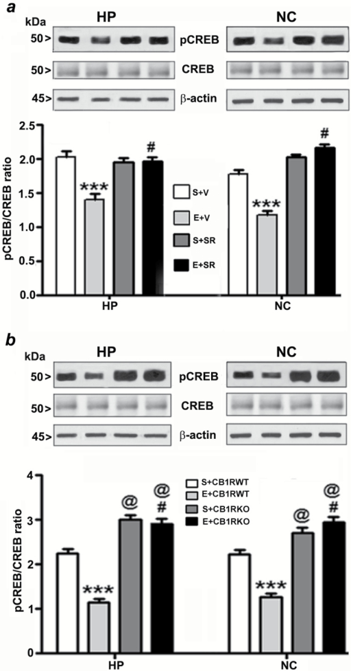 Pharmacological blockade or genetic ablation of CB1Rs provides protection against ethanol-induced inhibition of CREB phosphorylation in the neonatal mouse brain. (a) Hippocampal and neocortical nuclear extracts from the four treatment groups (S+V, E+V, S+SR, and E+ SR) were subjected to Western blot to analyze the levels of pCREB and CREB (n = 10 pups/group; ***p < 0.001 vs. S+V; #p < 0.001 vs. E+V). (b) Additional Western blot analyses were performed to determine the levels of pCREB and CREB in the hippocampal and cortical nuclear extracts obtained from the saline and ethanol-treated P7 CB1RWT and KO mice. The representative blots are shown for the hippocampal and cortical nuclear extracts (n = 10 pups/group; ***p < 0.001 vs. S+CB1RWT; #p < 0.001 vs. E+ CB1RWT; @p < 0.001 vs. S+CB1RWT). β-actin was used as a loading control. Two-way ANOVA with Bonferroni's post hoc tests was used for statistical analysis. Each point is the mean ± SEM. HP, hippocampus; NC, neocortex.