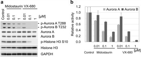 Inhibition of Aurora kinases A and B by midostaurin. The effect of midostaurin on Aurora kinases A and B was examined comparing with that of VX-680. a MDA-MB-468 cells were treated with midostaurin or VX-680 at indicated concentrations for 3 h, and then subjected to Western blot analysis using the antibodies as in Fig. 4. bIn vitro kinase activity of Aurora kinases A and B was measured in the presence of midostaurin or VX-680 at indicated concentrations, and the results were shown as a ratio relative to the control sample in the absence of the inhibitor. Bars are 1 s.d. of duplicate experiments