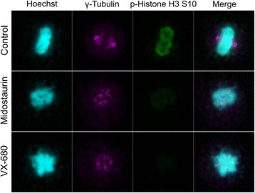 Aberrant mitosis of midostaurin treated cell. MDA-MB-468 cells were synchronized with the thymidine treatment, and subsequently cultured in thymidine-free medium with the indicated inhibitor. Cells were fixed, stained with Hoechst or each antibody, and observed under fluorescence microscope. Nuclear condensation was used as a marker of M phase cells