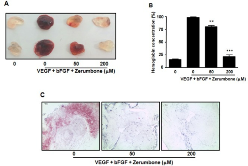 Effects of zerumbone in vivo angiogenesis by matrigel plug assay. (A) Matrigel containing mouse VEGF (100 ng/ml), mouse bFGF (100 ng/ml), and zerumbone was subcutaneously injected into C57BL/6J mice. After 7 days, matrigels ware removed and photographed. (B) Paraffin sections of matrigel plugs were stained with hematoxylin and eosin. Original magnification, ×100; Scale bar 100 µm. (C) The quantification of neovascularization on the matrigel was performed by measuring the hemoglobin content. The results are reported as the mean±SEM of three independent experiments. Statistical significance is based on the difference when compared with non-treated animals, **p<0.01, ***p<0.001.