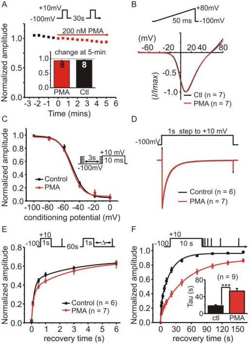 "Phorbol ester (PMA) selectively targets recovery from ""slow"" inactivation.The effects of acute application of PMA on HEK293 cells expressing CaV2.2, β1b and α2δ were investigated. (A) Cells were stimulated with a 10ms step depolarization and peak amplitude of IBa plotted against time (normalized to the time point immediately before PMA application) (n = 8; error bars are plotted but in most cases fall within the symbol so are not visible). The inset bar graph shows the change in IBa amplitude after 5-minutes of PMA (200 nM) was not different from time-matched control cells. (B) Shows the normalized current-voltage relationship of IBa evoked by a ramp depolarization first in the absence (Ctl) then in the presence of PMA (200 nM for 5-min). Traces are the mean values (n = 7) and error bars are omitted for clarity. (C) The voltage-dependence of closed-state inactivation was determined before and during application of PMA (protocol shown in the inset). The mean normalized current amplitude was plotted and fit with a Boltzmann function of the form: I = I2 + (I1 —I2) / 1 + e((V—V50)/k)). The two curves (control and PMA) were not significantly different from one another (F = 0.97 p = 0.45); V50 = -49 mV in control and -51 mV in PMA, slope = -7.38 in control and -7.4 in PMA. (D) Inactivation of IBa during a 1s step depolarization was not altered by PMA. Control cells or cells treated with PMA for 5–10 minutes were stimulated with a 1s step to +10mV and the evoked currents normalized to the peak amplitude to enable better comparison of the inactivation time-course. Traces show the means but error bars are omitted for clarity. (E) Recovery from ""fast"" inactivation was not significantly different in control cells or PMA treated cells (200nM for 5–10 minutes). Inactivation of IBa was produced by 1s prepulse and recovery determined by a brief test pulse after the indicated interval. This was repeated once every 60s (see inset above graph for voltage-protocol). Current amplitude during the recovery test pulse was normalized to peak IBa evoked by the prepulse. The solid lines show double exponential fits to the data. (F) PMA prolonged recovery from ""slow inactivation"". Inactivation of IBa was produced by 10s prepulse and recovery was tracked using a series of brief test pulses applied at the indicated time points following the 10s prepulse (see inset). This was repeated twice in the same cell, once before application of PMA ((Ctl) and once in the presence of PMA (after 5-min exposure). Solid lines show double exponential fits to the mean data (control A1 = 0.23, A2 = 0.73, t1 = 1.21 s, t2 = 18.96 s; PMA A1 = 0.12, A2 = 0.76, t1 = 1.06 s, t2 = 49.2 s, fit comparison F = 27.6 p < 0.0001). The inset bar graph shows the mean time-constant for the slow phase of recovery calculated from fits to the individual cells (*** p = 0.001, paired t-test)."