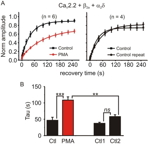 "PMA significantly prolonged recovery from inactivation in β2a containing channels.(A) HEK293 cells were transfected with CaV2.2, α2δ, and β2a subunits. Inactivation was produced by a 10s prepulse and recovery tracked as in Fig 1F. This was done twice in each cell: in some cells PMA was applied 5-min before the second stimulation protocol (left panel), while other cells were used as time-matched controls (i.e. no PMA was applied; right panel). Solid lines show exponential fits to the mean data (left panel: control A = 0.82, t = 40.4 s; PMA A = 0.65, t = 101 s, comparison of fits F = 24.2 p < 0.0001: right panel control A = 0.74, t = 36.9 s; control repeat A = 0.78, t = 55.8 s, comparison of fits F = 2.28 p = 0.1). (B) The time constant of the exponential fit to each individual cell was calculated and the means plotted. PMA significantly prolonged recovery from inactivation (* p < 0.05, ** p < 0.01, ns = ""not significant"" using ANOVA followed by Bonferroni's multiple comparison test)."