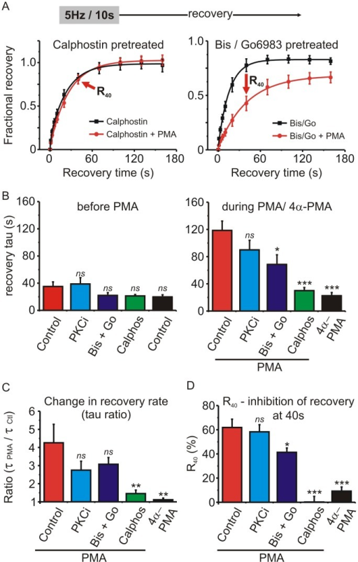"Testing the involvement of PKC in the prolonged recovery from inactivation produced by PMA.(A) Cells were pretreated with calphostin C (200 nM) or a mixture of bisindolylmaleimide-1 (Bis; 500 nM) + Go6983 (100 nM). Inactivation was produced by a stimulus train (5Hz for 10s as in Fig 4) and the fractional recovery from inactivation determined first in the absence and then in the presence of PMA. Solid lines show an exponential fit to the mean data (left panel: calphostin A = 0.95, t = 17.2 s; calphostin + PMA A = 1.0, t = 23.7 s, comparison of fits F = 3.62 p = 0.06: right panel: Bis/Go A = 0.80, t = 15.6 s; Bis/Go + PMA A = 0.67 t = 40.7 s, comparison of fits F = 25.3 p < 0.0001). The arrows labeled ""R40""denote the 40s recovery time point. (B) Plots the mean recovery time constant determined from an exponential fit in each cell before (left panel) and during (right panel) application of PMA, or the inactive control 4α-PMA. ""Control"" = no pretreatment (n = 6); ""PKCi"" = cells recorded with intracellular application of a pseudosubstrate peptide inhibitor of PKC (2 μM PKC(19–36) (n = 6); ""Bis + Go"" = cells pretreated with bisindolylmaleimide-1 (500nM) + Go6983 (100nM) (n = 6); ""Calphos"" = cells pretreated with calphostin C (200 nM) (n = 7). Also shown is data for cells treated with 4α-PMA (n = 4). Pretreatment with the various drugs did not significantly alter the recovery time constant before application of PMA (left panel). The effect of PMA was significantly reduced by pretreatment with Bis + Go or calphostin C (right panel) (ns, not significantly different, * p < 0.05, *** P < 0.001 compared to the control PMA cells (red bar) determined using one-way ANOVA and Dunnett's post-test). (C) To quantify the change in recovery rate produced by PMA, a ratio of the recovery time constants was calculated in each cell (tau in the presence of PMA / tau before application of PMA). Statistical significance compared to the control PMA cells (red bar) was determined using one-way ANOVA and Dunnett's post-test (ns, not significantly different, ** P < 0.01). (D) Another index to compare the various drug treatments is the percent inhibition of recovery at the 40 s time point (R40—see panel A and results section for more detail). Statistical significance compared to the control PMA cells (red bar) was determined using one-way ANOVA and Dunnett's post-test (ns, not significantly different, * p < 0.05, *** P < 0.001)."
