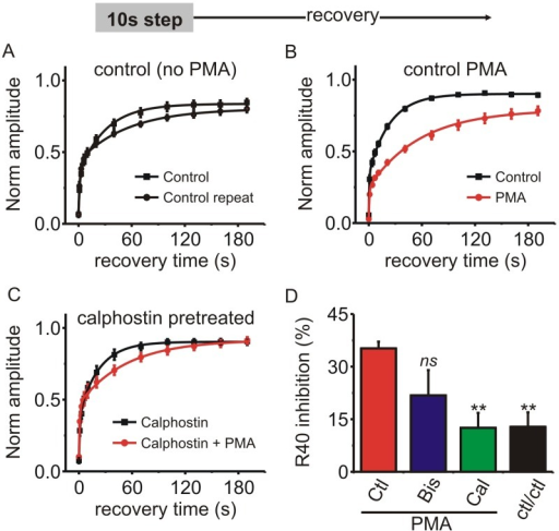 PMA prolonged recovery of ICa from inactivation in adrenal chromaffin cells.(A–C) Chromaffin cells were stimulated with a 10s step depolarization and recovery from inactivation tracked at the indicated time points. ICa amplitude (normalized to that before the 10 step depolarization) is plotted for each of the recovery time points and the mean data fit with a double exponential (solid lines). A) Control cells with no PMA treatment (n = 11) (fit parameters: control Y0 = 0.07, A1 = 0.29, A2 = 0.49, t1 = 1.5 s, t2 = 32.1 s; control repeat Y0 = 0.07, A1 = 0.36, A2 = 0.37, t1 = 1.5 s, t2 = 52.6 s: fit comparison F = 1.66 p = 0.21). B) Control cells with PMA (n = 6) (fit parameters: control Y0 = 0.05, A1 = 0.28, A2 = 0.56, t1 = 0.7 s, t2 = 23.5 s; PMA Y0 = 0.03, A1 = 0.24, A2 = 0.55, t1 = 1.1 s, t2 = 69.6 s, comparison of fits F = 35.2 p < 0.0001). C)Cells pretreated with calphostin C (n = 6) (fit parameters: calphostin Y0 = 0.08, A1 = 0.31, A2 = 0.52, t1 = 1.2 s, t2 = 22.6 s; calphostin + PMA Y0 = 0.10, A1 = 0.36, A2 = 0.45, t1 = 1.0 s, t2 = 52.7 s, comparison of fits F = 1.73 p = 0.19). (D) The percent inhibition of recovery at the 40 s time point was calculated (R40—see results section for more detail). The bar graph shows R40 produced by PMA in control cells (PMA; n = 6), cells pretreated with bisindolylmaleimide-1 (Bis; n = 4), and cells pretreated with calphostin C (Cal; n = 6). The R40 for control cells stimulated twice in the absence of PMA is also shown (ctl/ctl; n = 11). Statistical significance compared to the control PMA cells (red bar) was determined using one-way ANOVA and Dunnett's post-test (ns, not significantly different, ** p < 0.01).