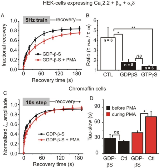 Intracellular application of GDP-β-S or GTP-γ-S reduced the effect of PMA on recovery from inactivation.(A) HEK293 cells expressing CaV2.2, β1b and α2δ were recorded with patch pipette solution containing 0.5mM GDP-β-S and stimulated with a 5Hz/10s train. Fractional recovery from inactivation is plotted over time and the solid lines show a double exponential fit to the mean data (fit parameters: GDP-β-S A1 = 0.13, A2 = 0.71, t1 = 0.9 s, t2 = 35.0 s; GDP-β-S + PMA A1 = 0.18, A2 = 0.61, t1 = 3.6 s, t2 = 62.7 s, comparison of fits F = 12.9 p < 0.0001). (B) The change in recovery rate produced by PMA (tau in the presence of PMA / tau before application of PMA) for control cells, cells recorded with GDP-β-S in the patch pipette solution, and cells recorded with GTP-γ-S in the patch pipette solution (ns, not significant, * p < 0.05, ** p < 0.01; ANOVA with Bonferroni's post-test for multiple pairwise comparisons). (C) Endogenous ICa was recorded from adrenal chromaffin cells with GDP-β-S in the patch pipette solution. Chromaffin cells were stimulated with a 10s step depolarization and recovery from inactivation was tracked at the indicated time points before and during application of PMA. The mean recovery data was fit with a double exponential (fit parameters: GDP-β-S Y0 = 0.02, A1 = 0.36, A2 = 0.52, t1 = 0.8 s, t2 = 28.1 s; GDP-β-S + PMA Y0 = 0.02, A1 = 0.25, A2 = 0.66, t1 = 0.8 s, t2 = 37.4 s, comparison of fits F = 1.65 p = 0.2). (D) Mean (± sem) data are shown for the slower of the two time constants from control cells (Ctl, n = 7) and cells recorded with GDP-β-S (n = 4). GDP-β-S had no effect on recovery rate in the absence of PMA (black bars) but significantly reduced the slowing of recovery produced by PMA (red bars) (ns, not significant, * p < 0.05; ANOVA with Bonferroni's post-test for multiple pairwise comparisons).