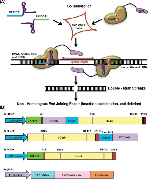 Schematic representation of different dCas9 and FokI fusion variant architectures.(A) Schematic strategy used to test dCas9 and FokI fusion variants for homodimer formation and double-strand break (DSB) generation within the target sequence. A pair of gRNAs capable of guiding the dCas9 and FokI fusion variants and binding to the sense and antisense DNA strands to facilitate dimerization of the FokI catalytic domain is shown. (B) Schematic representation of dCas9 and FokI fusion variants. The FokI catalytic domain was fused to either the C- or N-terminus of dCas9 with different linker sequences to facilitate dimer formation. The fdCas9 variant was cloned under the CMV promoter with a linker of 16 amino acids and 4 NLSs, one in the N-terminal domain and three in the C-terminal domain. dCas9 was also cloned under the CMV promoter and used as a negative control. NLSs were included on either or both ends of the fusion protein to boost its nuclear localization.