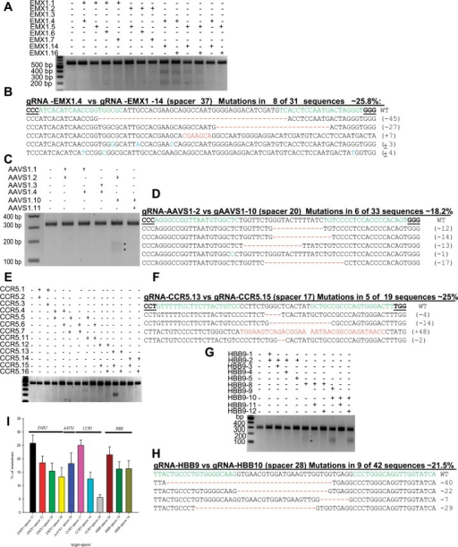 Robust catalytic activity of the fdCas9 variant on endogenous genomic targets.(A, C, E, and G) T7EI assays for the EMX1, AAVS1, CCR5, and HBB genomic targets, respectively with fdCas9 using several combinations of gRNAs in PAM-in and PAM-out orientations. Arrows in (C) indicate the expected size of the DNA bands of AAVS1 amplicons cleaved by T7EI. (B, D, F, and H) Alignment of Sanger sequencing reads of PCR amplicons encompassing the EMX1, AAVS1, CCR5, and HBB target sequences showing indels within the 37-, 20-, 17-, and 28-bp spacer sequences, respectively. gRNA targets are highlighted in green, the PAM sequence is shown in bold and underlined, dashes indicate nucleotide deletions, nucleotides highlighted in red indicate insertions, and nucleotides highlighted in blue indicate substitutions. Mutation frequencies were estimated as the number of mutant clones divided by the total number of sequenced clones. (I) Catalytic activities of fdCas9 on different genomic targets using gRNA pairs with different spacer sizes (represented in percentage).