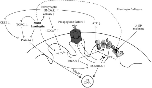 The involvement of mitochondrial dysfunction in Huntington's disease. Complex II deficiency, the predominant electron transport disorder in HD has long been linked to the deleterious effects of mutant huntingtin aggregation, a pathognomonic alteration in HD, and inhibitors of complex II (such as 3-nitropropionic acid (3-NP) and malonate) are used in experimental modeling of the disease. Disturbed OXPHOS in the affected cells can lead to the development of a vicious circle, eventually leading to cell death. Novel findings link PGC-1α dysfunction to the pathogenesis of HD at multiple levels, the restoration of which may hold therapeutic value. (↑ = increased presence/expression/activity; ↓ = decreased presence/expression/activity; arrow = promotion; bulb-headed arrow = inhibition/deterioration.)