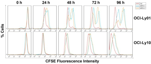 Cell division was inhibited in DLBCL cells with IRF8 knockdown. OCI-Ly01 and OCI-Ly10 cells were labeled with CFSE and cultured for various lengths of time. The fluorescence intensity of cells decreased by half during successive cell division. Cells with IRF8 knockdown had increase in fluorescence intensity at a much slower rate than cells without IRF8 knockdown did.