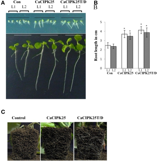 Morphology of CaCIPK25 overexpressing transgenic tobacco lines. (A) Morphological comparison of vertically grown tobacco seedlings transformed with empty vector (Con), CaCIPK25 and CaCIPK25T171D genes. Transgenic seeds from two lines (L1 and L2) are represented for all the constructs, upper and lower panels are showing 2− and 15−days old seedlings after germination, respectively. (B) Comparison of root lengths of 15-days old seedlings. Averages of three measurements of 15 seedlings each are shown. * indicates statistically significant difference (p < 0.05) from the control sample. (C) Root system of soil-grown 50 days-old transgenic tobacco plants. Roots exposed to the soil surface are shown.
