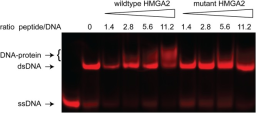 Electrophoretic mobility shift assay (EMSA).We incubated a double-stranded oligonucleotide (dsDNA) with increasing concentrations of peptides containing either the wildtype (28Gly) or mutant (28Glu) sequence of the first AT-hook of the HMGA2 protein. With the wildtype sequence a partial shift of the dsDNA band could already be observed at the lowest concentration of peptide corresponding to a molar ratio of peptide to DNA of 1.4. At the highest concentration of the wildtype peptide, the majority of the DNA was in the DNA-protein complex. In contrast, with the mutant peptide the band shift was only observed at higher peptide concentrations and a smaller proportion of DNA was bound.