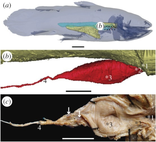 The vestigial lung of the extant coelacanth Latimeria chalumnae. (a) Three-dimensional reconstruction of the adult specimen CCC 22 (130 cm TL) in right lateral view. (b) Details of the three-dimensional reconstruction of the lung of the adult specimen CCC 28, corresponding to the boxed area in (a). (c) Partial dissection of the lung of the adult specimen CCC 3, exhibiting its lumen in the ventral view. Yellow, oesophagus and stomach; red, vestigial lung; blue, fatty organ. White arrows point to two hard but flexible plates. 1, 2, 3, 4 indicate the four successive areas of the vestigial lung. Scale bars, 10 cm (a); 1 cm (b); 0.5 cm (c).