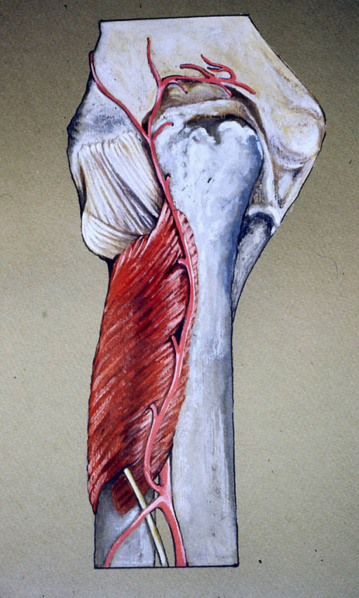 supinator muscle; radius; ulna; ulnar olecranon process; humerus; posterior interosseous artery; posterior interosseous nerve