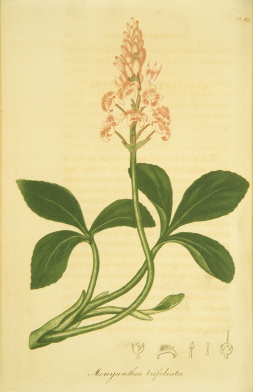 <p>Colored engraving of a flowering buck bean plant.</p>
