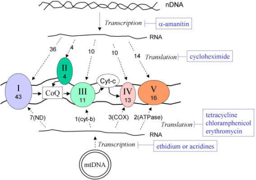 The mitochondrial electron transport chain complexes are encoded by two genetic systems: the mitochondrial DNA (mtDNA) and the nuclear DNA (nDNA). The mtDNA codes for 7 NADH dehydrogenase (ND) subunits for complex I, a cytochrome b for complex III, 3 cytochrome c oxidase (COX) subunits for complex IV, and 2 ATPase (ATPase6/8) for complex V. Complex II is solely encoded by nDNA. The solid arrows indicate the direction of electron flow in the respiration chain; dashed arrows indicate the flow of genetic information from mtDNA or nDNA to RNA to protein; the numbers indicate the actual number of protein subunits coded by each genetic system. Specific inhibitors of RNA transcription or protein translation with relative selectivity for each genetic system are indicated in blue.