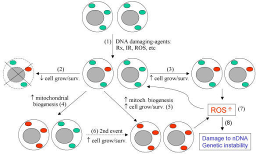 Schematic illustration of somatic mtdna mutation mitoc open i schematic illustration of somatic mtdna mutation mitochondrial dna mutations can be induced by endogenous or ccuart Choice Image