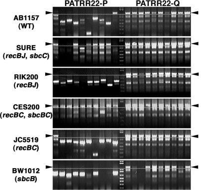 Deletion of the PATRR22-pal requires SbcC activity. The SbcC-dependency of the PATRR22-pal deletions was evaluated using various E. coli strains. Relevant genotypes for each strain are indicated in parentheses. The insert size of PATRR22s was examined by colony PCR amplification. The bands above the dotted lines represent intact inserts. The PATRR22-pal was extensively deleted in the wild-type strain (AB1157), but was remarkably kept intact in two independent SbcC mutant strains (SURE and CES200). The PATRR22-quasi was stable in all strains examined. Premature termination products of PCR reactions were observed as smaller-sized bands when the template DNA retained its palindromic nature.