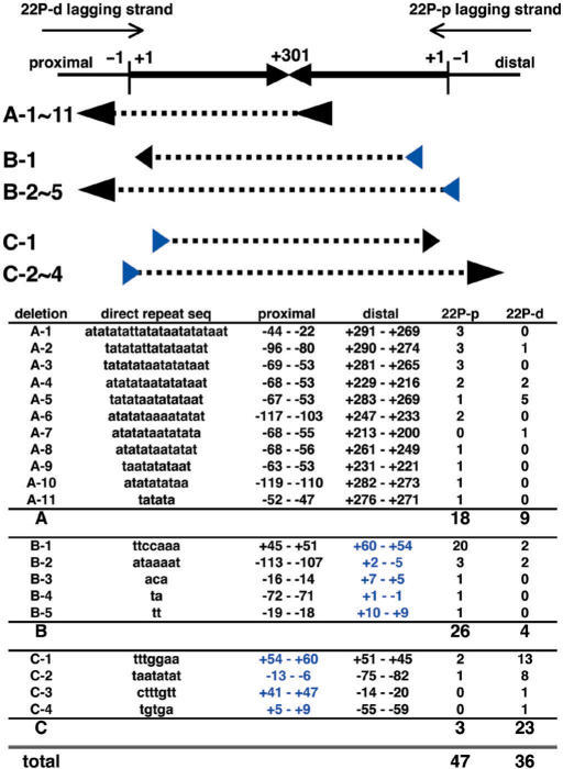 Sequence analysis of the PATRR22-pal deletions in AB1157 strain. The head-to-head arrows represent the palindromic sequence of the PATRR22-pal. Numbers with a plus (+1 to +301) indicate the position of bases from the end of the palindrome (vertical bars) in both the proximal and distal arms, while numbers with a minus indicate the positions of bases outside the PATRR. The larger plus numbers indicate positions closer to the centre (i.e. the palindrome is labelled from +1 to +301 and back to +1). Thin arrows represent the direction of lagging strand synthesis in the PATRR22-pal-pBluescript II-KS (22P-d) and -SK (22P-p) plasmids. Deletion types are classified by the positions of direct repeat pairs (arrowheads) that flank the deleted sequences (dashed lines). One of a pair is located near the centre in the type A deletions, and is located at the distal and proximal ends in the type B and type C deletions, respectively. The different distribution of direct repeats supports the existence of different putative mechanisms for these deletions.