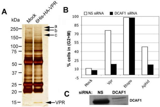 "Role of DCAF1 in Vpr-induced G2 arrest. A. Identification of Vpr-interacting proteins by affinity chromatography followed by mass spectrometry; band labeled as ""c"" was identified as being DCAF1. B. Knockdown of DCAF1 abolishes Vpr function. C. Western blot demonstrates efficient knockdown of DCAF1. NS, non-specific siRNA."