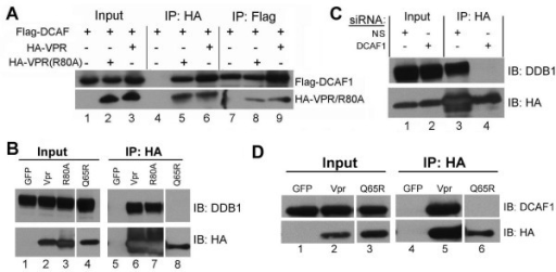 Co-immunoprecipitation studies with Vpr, DCAF1 and DDB1. A. Flag-DCAF1 was cotransfected into HeLa cells with either HA-Vpr or HA-Vpr(R80A). Immunoprecipitation was performed with either HA or Flag antibody as indicated. Immunoprecipitates were analyzed by WB for the presence of Flag-DCAF1 or HA-Vpr. B. GFP, HA-Vpr, HA-Vpr(R80A), or HA-Vpr(Q65R) constructs were transfected, and immunoprecipitations with HA antibody were performed. Immunoprecipitates were analyzed by WB with an antibody against endogenous DDB1. C. Knockdown of DCAF1 abolishes the association between Vpr and DDB1; HeLa cells were transected with HA-Vpr, in the presence of non-specific (NS) or DCAF1-specific siRNA. 48 hours later, cell extracts were immunoprecipitated with HA antibody and analyzed by WB for the presence of endogenous DDB1. D. HA-Vpr(Q65R) fails to interact with DCAF1.